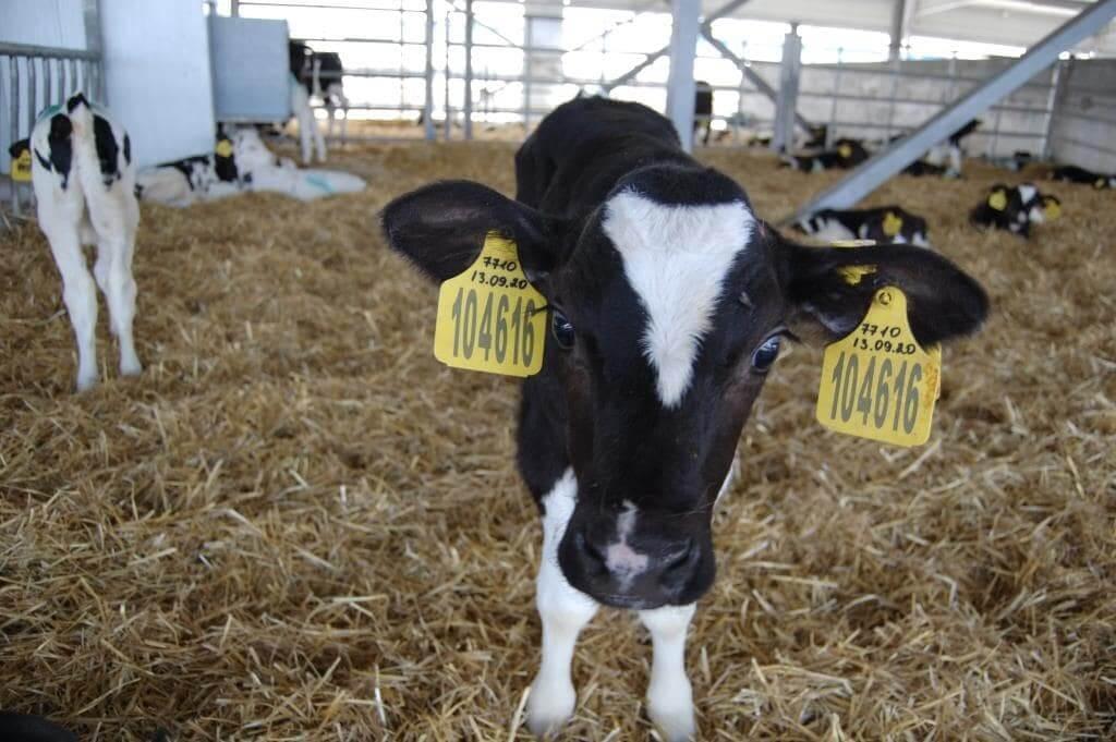 Пример маркировки сельскохозяйственных животных